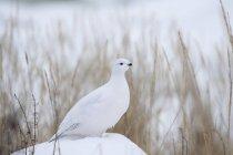 Pernice bianca che si siede sulla neve — Foto stock