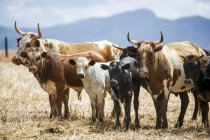 Nguni cattle grazing at Cape Town — Stock Photo