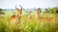 Antilope stehend auf Feld — Stockfoto