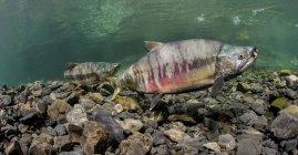 Salmon underwater in an Alaskan stream — Stock Photo