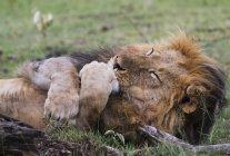 Afrikanischer Löwe leckt seine Pfote — Stockfoto