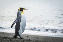 Король пінгвін, прогулянки на пляж — стокове фото