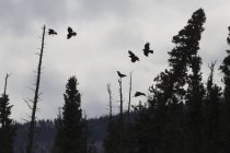 Силует ворони політ — стокове фото