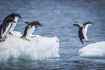 Pingüinos adelia buceo - foto de stock