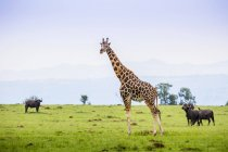 Жираф и буйволов — стоковое фото