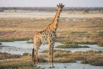 Namibische Giraffe dominieren über — Stockfoto