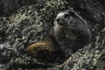 Hoary Marmot sitting at rocks — Stock Photo