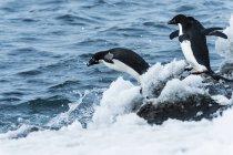 Pingüinos adelia saltando en el agua. Antártida - foto de stock