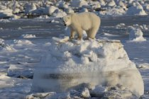 Polar bear standing — Stock Photo