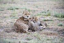 Детеныши гепарда Снаггл — стоковое фото