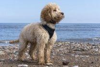 Cockapoo em pé na praia rochosa — Fotografia de Stock