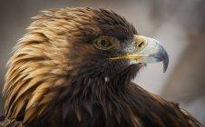 Golden eagle portrait — Stock Photo