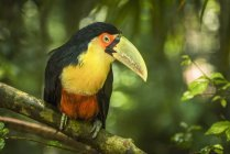 Green-billed toucan — Stock Photo