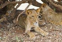 Східно-Африканського Левенята — стокове фото