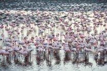 Enorme colônia de flamingos rosa e brancos — Fotografia de Stock