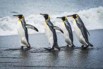 Чотири король пінгвіни — стокове фото