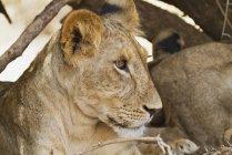Cucciolo di leone africano orientale — Foto stock