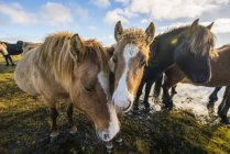 Icelandic horses on shore — Stock Photo