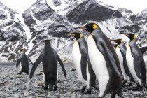Король пінгвіни, прогулянки на пляж — стокове фото