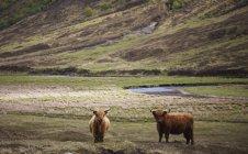 Paisagem de Scottish Highland com tempo com chifres gado das terras altas em — Fotografia de Stock