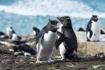 Rockhopper penguins on shore — Stock Photo