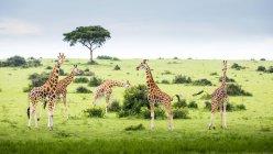Giraffe in piedi sul campo — Foto stock
