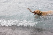 Male Chesapeake Bay Retreiver — Stock Photo