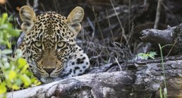 Leopard looking at camera — Stock Photo
