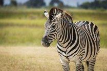 Closeup of Burchell zebra — Stock Photo