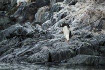 Gentoo penguin standing — Stock Photo