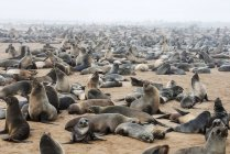 Cape fur seals — Stock Photo