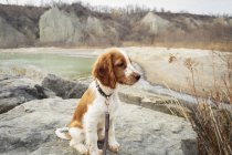 Welsh Springer Spaniel — Stock Photo