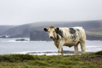 Скот на травянистых Клифф — стоковое фото