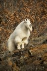 Pé de cabra montesa sobre rocha — Fotografia de Stock