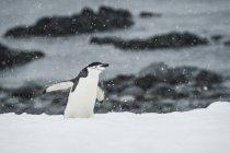 Pygoscelis antarctica in precipitazioni nevose — Foto stock