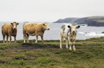 Cattle on grassy cliff — Stock Photo