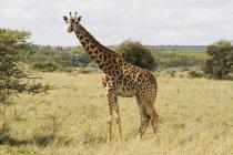 In piedi giraffa Masai su erba — Foto stock
