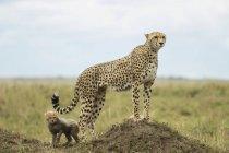 Гепард и cub на открытом воздухе — стоковое фото