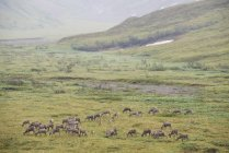 Herd of Caribou grazing — Stock Photo