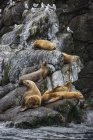 Colony of Steller Sea Lions — Stock Photo