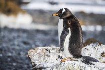 Gentoo penguin Gentoo penguin — Stock Photo