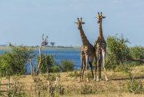 Due giraffe africane — Foto stock