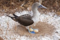 Blue-footed booby in nest with eggs, Galapagos — Stock Photo