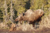 Moose cow and calf — Stock Photo