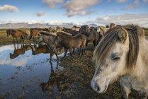 Chevaux islandais sur le rivage — Photo de stock