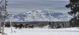 Caballos corriendo en la nieve - foto de stock
