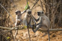 Three Hanuman langurs ( — Photo de stock