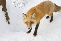 Volpe rossa in cattività — Foto stock