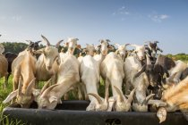 Goats feeding from feeder — Stock Photo