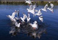 Чайки ширяючий аж до кормів — стокове фото